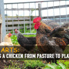 Chicken-Pasture-to-Plate-8626822428fa013f7c466da5c4761e431adc0f38