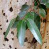Eucalyptus-wikipedia-0ce7aba7e2cefea965891bc2579832ab0d832e20