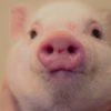 pig-pet-changeDOTorg-6a78aa94d54e4f05dc2af2f097a2021a91d54f5c