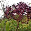 Elderberries-pic-Steve-Nu-8d64e759f3867dbc4cadeb162e2a7a5e1332e548